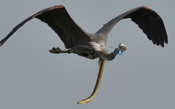Kinh hoàng khoảnh khắc con lươn xé toạc diều kẻ săn mồi để thoát thân