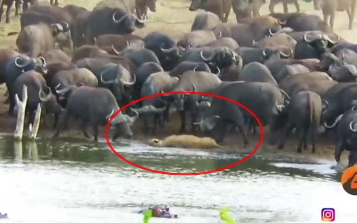 Sư tử cái lạc đàn bị cả trăm con trâu rừng giẫm đạp đến chết