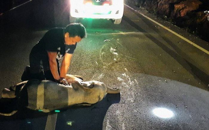 Nhận cuộc gọi khẩn cấp, nhân viên choáng váng khi phải thực hiện hồi sức tim phổi cho voi con bị tai nạn và 10 phút sau nhận kết quả không ngờ