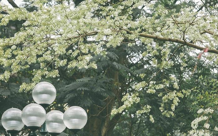 Mùa hoa sưa lại về trên phố, trắng rợp trời Hà Nội như bông ...