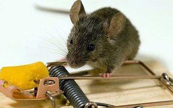 Chỉ với thứ nhà nào cũng có này, bạn có thể khiến lũ chuột ...