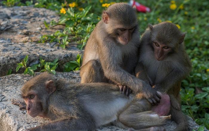 Kiểm lâm nói về những chú khỉ bị đầy vết thương ở bán đảo Sơn ...