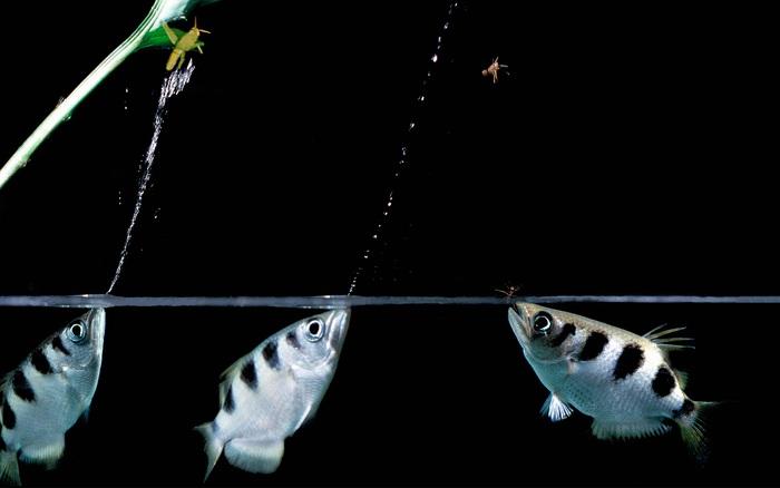 Chuyện cá cung thủ săn mồi và triết lý sâu sắc cho hội công ...