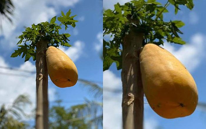 Cây đu đủ cằn cỗi vẫn dồn hết sinh lực nuôi một trái duy nhất, quả ...