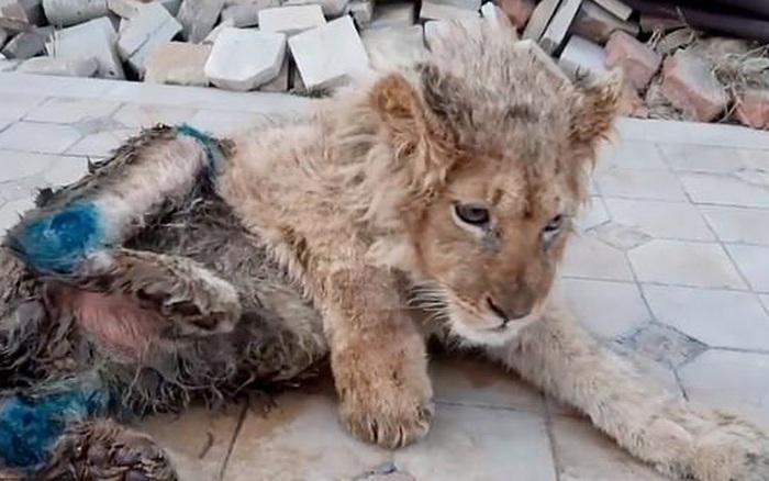 Bức ảnh sư tử con bị bẻ gãy chân để nằm yên cho khách du lịch chụp ...