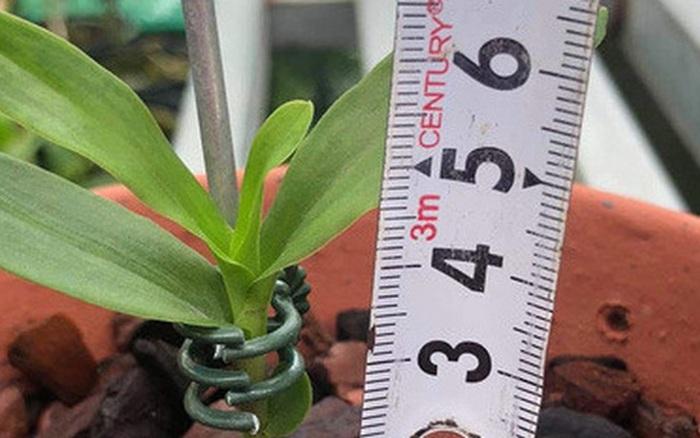 5 triệu đồng mua được 1 centimet, loại cây này có gì đặc biệt ...
