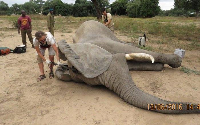 Kiểm tra lỗ thủng kỳ lạ trên đầu chú voi hiền lành, bác sỹ ...