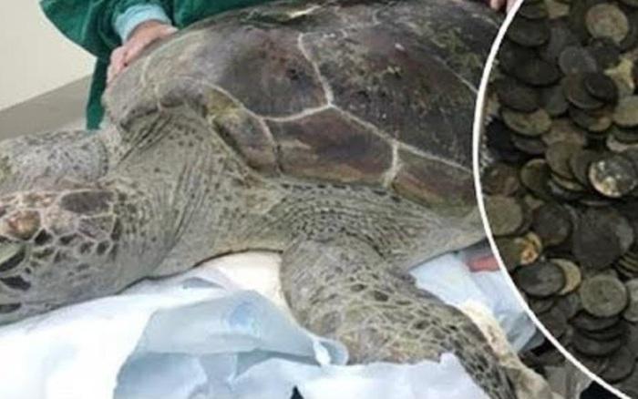 Con rùa không thể bơi dưới nước, các bác sĩ siêu âm ...