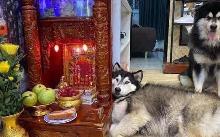 """Chú chó Husky nằm """"chầu chực"""" mãi ban thờ thần tài chỉ vì ..."""