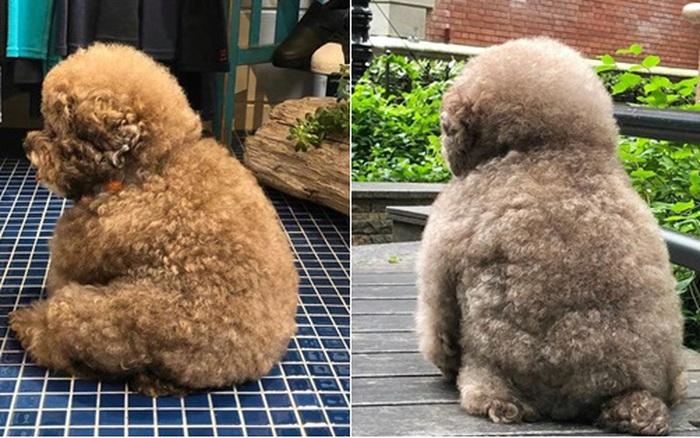 Dân mạng cười rần rần với cô chó Poodle mũm mĩm có dáng ngồi ...