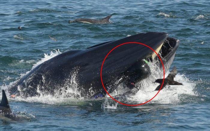 Khoảnh khắc ấn tượng khi cá voi ngoạm người đàn ông trong miệng chỉ thấy được đầu và một phần thi thể, kết cục của câu chuyện khó ngờ hơn