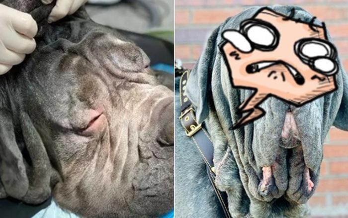 Chó ngao mặt xệ đến nỗi không mở được mắt, chủ cho đi thẩm mỹ