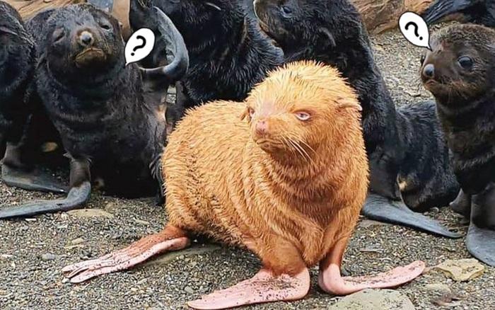Hải cẩu đột biến vàng như củ gừng bị anh em xa lánh vì màu lông quá dị