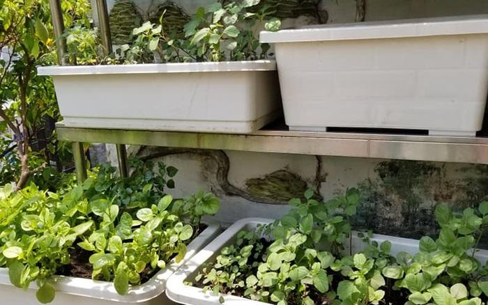 Khoảng sân vườn ngập tràn rau quả tốt tươi với chi phí chỉ vài trăm nghìn đồng của chàng trai đảm ở Sài Gòn
