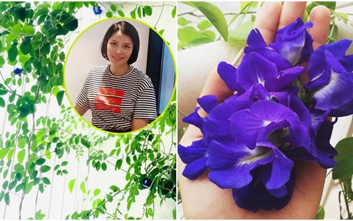 Mẹ đảm tại Hà Nội chỉ cách trồng cây đậu biếc xanh tốt trên ban công nhà phố, còn lấy hoa làm đủ món ai nhìn cũng