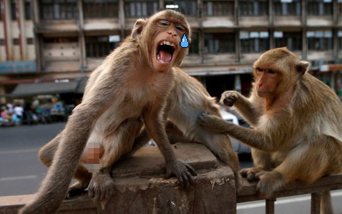 Thái Lan quyết định thiến 200 con khỉ vì gây náo loạn cả thành phố