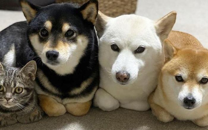 Ở lâu ngày với băng khuyển shiba, mèo Mỹ lông ngắn biến thành chó lúc nào không hay!