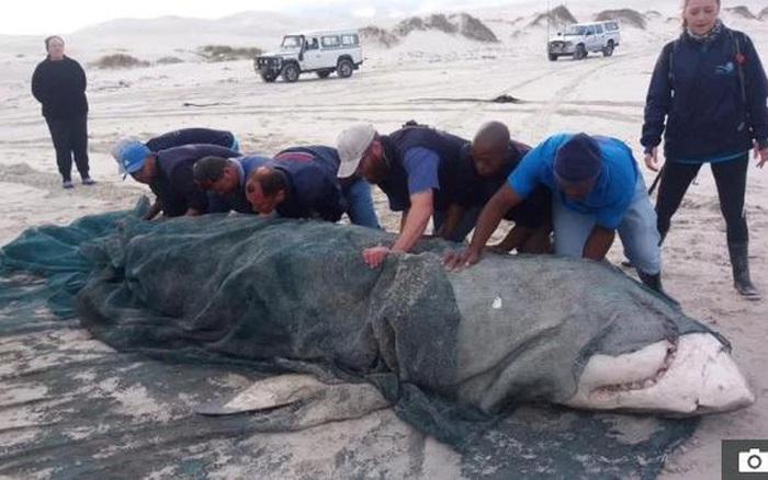 Cá voi sát thủ xé toạc cá mập trắng chỉ để ăn 3 bộ phận