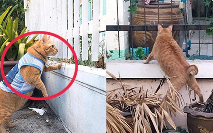 Mèo ú bị bóc phốt chuyên nghển cổ hóng hớt, đã thế còn lân la gạ gẫm cô mèo nhà hàng xóm đi
