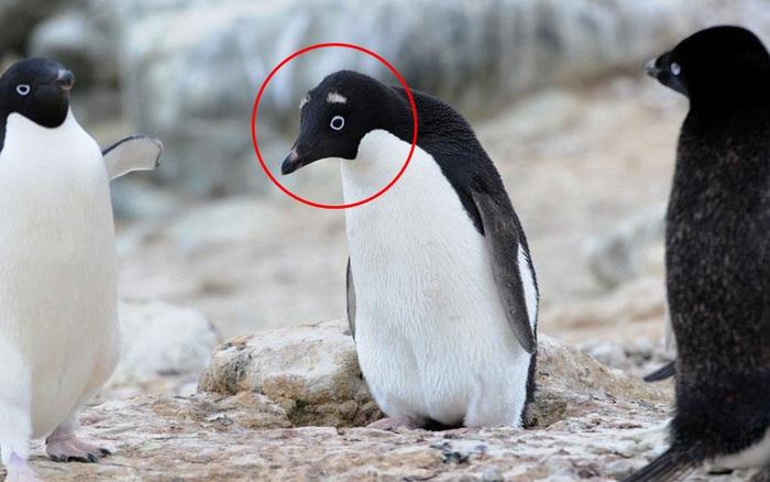 Chim cánh cụt với hàng lông mày trắng độc lạ tưởng giống loài mới nhưng thực tế là do bị đồng loại bạo hành mà ra