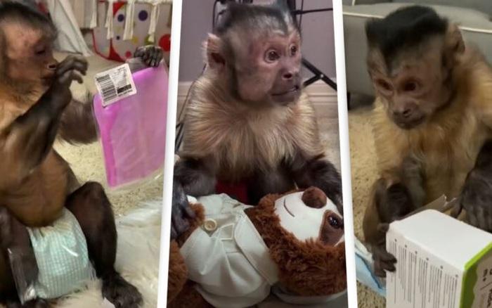 Chú khỉ gây sốt MXH TikTok với tài