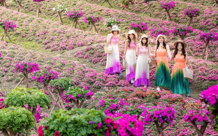 Hà Nội xuất hiện cánh đồng hoa ngọc thảo cực rộng và đầy sắc màu, nhiều chị em rủ nhau đi chụp ảnh Tết sớm