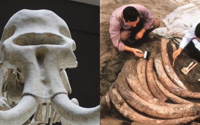 Tìm thấy 1000 ngà voi cổ đại trong lòng đất nhưng đang khai quật thì chuyên gia đột nhiên hét lớn