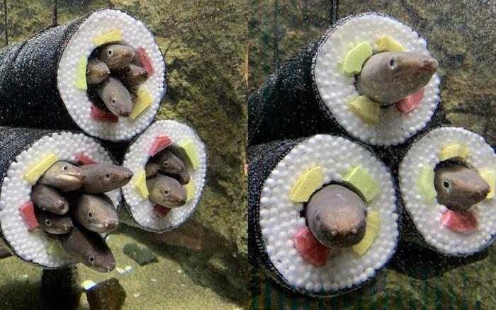 Thủy cung tạo ra những cuộn sushi cá chình khổng lồ khiến dân tình khóc thét và sự thật thú vị đằng sau