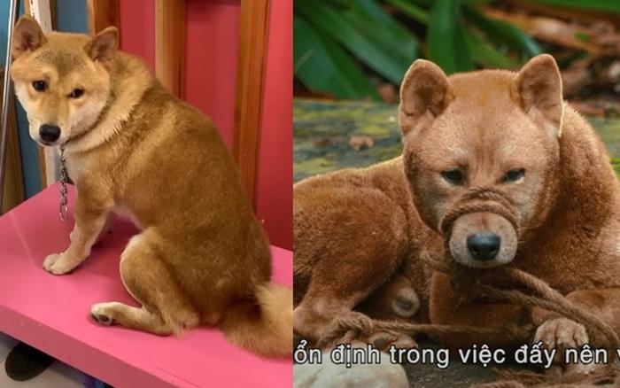 Bất ngờ về chú chó Shiba trong phim Cậu Vàng: Từ một chú chó bị tự kỷ, hay cắn đến một