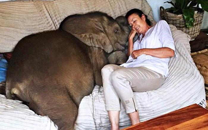 """Sau khi được cứu sống, chú voi không ngừng """"rình ..."""
