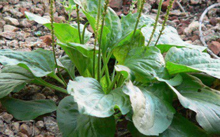 Loại cỏ mọc hoang ở Việt Nam: Giúp cai nghiện thuốc lá, tận diệt tế bào ung thư và ...