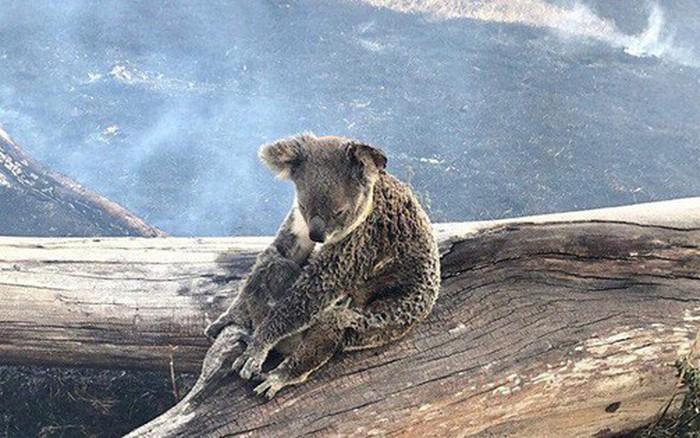 Khoảnh khắc xúc động khi gấu koala mẹ không màng đau đớn, cố bảo vệ đứa con nhỏ khỏi ...